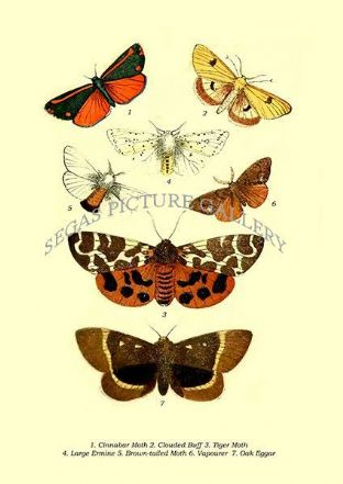 Cinnabar Moth, Clouded Buff, Tiger Moth, Large Ermine, Brown-tailed Moth, Vapourer